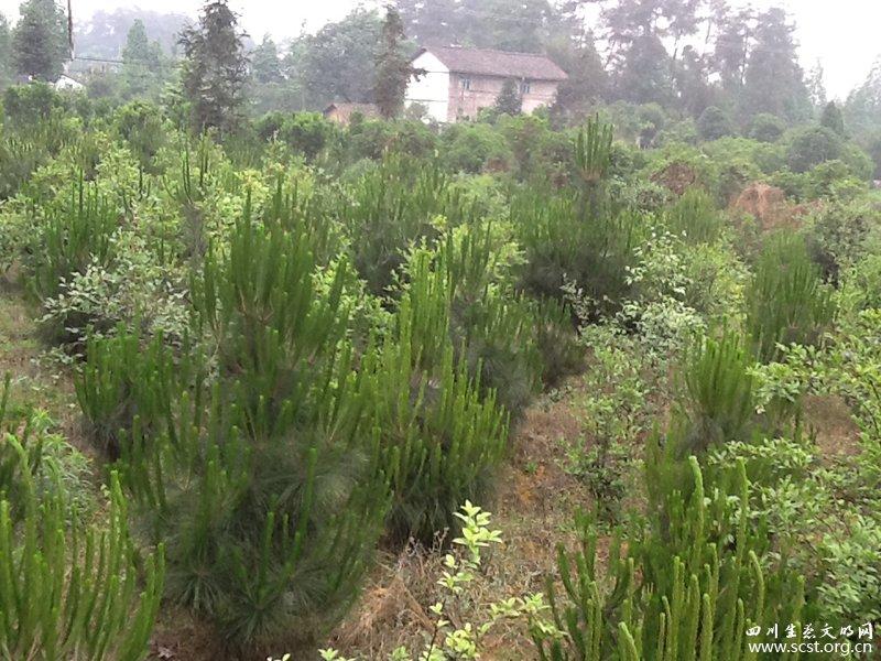 栽种的松苗